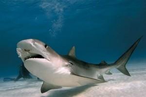 Акулы – не дремлют